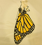 Monarch butterfly eclosing from it's chrysallis