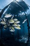 Schooling Golden rabbitfish, siganus guttatus under the Jetty
