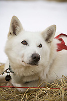 Portrait of *Toby,* one of Ray Redington Jr.'s dogs  at the Nikolai checkpoint on Tuesday during Iditarod 2008
