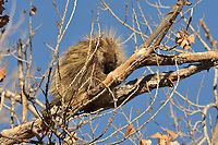 North American porcupine (Erethizon dorsatum), also known as the Canadian porcupine or common porcupine, resting during early winter in the top of a large cottonwood tree.  Utah.