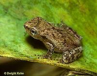 FR17-018a  Spring Peeper Tree Frog -  Pseudacris crucifer, formerly Hyla crucifer