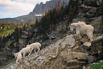 Mountain goat and kids, Glacier National Park, Montana