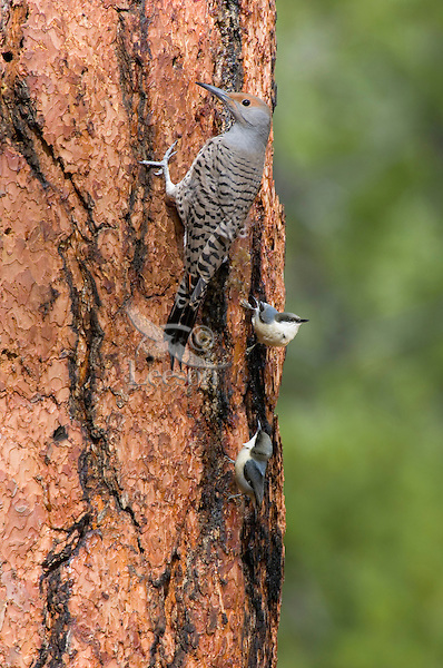 Northern Flicker or Red-shafted Flicker (Colaptes auratus) feeding on sap (and possibly insects attracted by sap) on side of ponderosa pine.  Western U.S., fall.  This pine and its leaking sap from woodpecker holes was also attracting Pygmy Nuthatches.