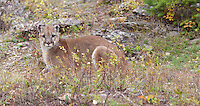 Cougar lying amonst the grass and brush - CA