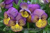 Gisela, FLOWERS, BLUMEN, FLORES, photos+++++,DTGK2498,#f#, EVERYDAY