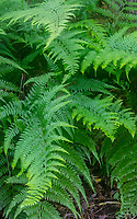 Indigenous palapalai ferns (Microlepia strigosa, or hay-scented fern, or lace fern), Kalopa State Park, Hamakua district of the Big Island.
