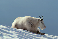 Mountain Goat resting on snow.  In the summer time mt. goats frequently rest on snow patches to help regulate their body temperature.  Western U.S.