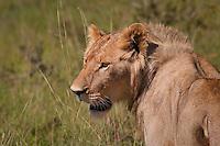 Lion in Samburu National Park, Kenya