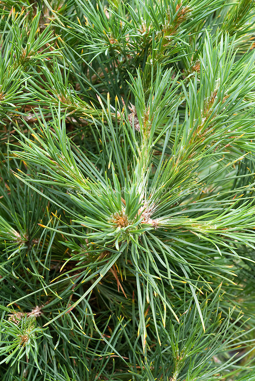 Pinus sylvestris Scotch pine tree, evergreen conifer, popular Christmas tree variety