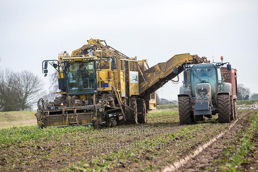 Harvesting sugar beet - Lincolnshire, January