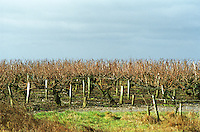 Vineyard. Coteaux du Layon, Anjou, Loire, France