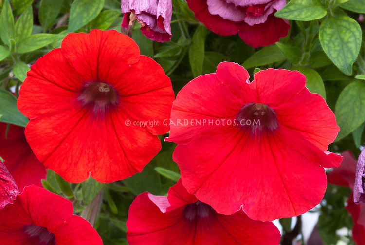 Petunia 'Veranda Scarlet' closeup macro of red annual flowers