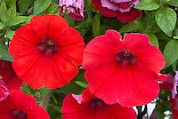 Petunia 'Veranda Scarlet' closeup macro of red annual flowers
