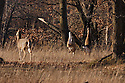 00275-198.11 White-tailed Deer (DIGITAL) Three does are in forest opening during fall.  Oak, acorns, feed, hardwoods, hunting.  H2A1