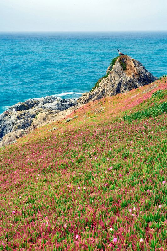 Goose on rock, iceplants and ocean at Duncan Park. Sonoma Coast State Beach. California