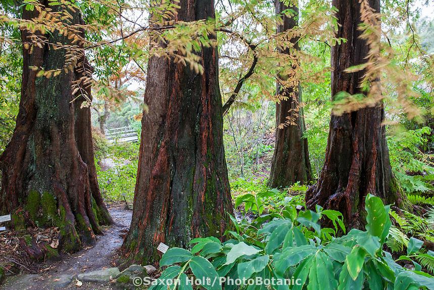 Dawn Redwood tree trunks,  Metasequoia glyptostroboides in University of California Berkeley Botanical Garden