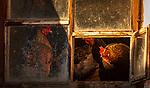 Italien, Suedtirol (Trentino - Alto Adige), Gadertal, Weiler Tolpei in Alt-Wengen (La Valle): glueckliches Federvieh durch artgerechte Haltung - freilaufende Huehner und Haehne | Italy, South Tyrol (Trentino - Alto Adige), Gader Valley, hamlet Tolpei in Old-La Valle: animal welfare - loose hen and rooster