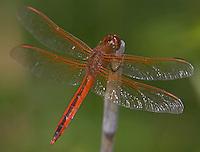 Needham's Skimmer (Libellula needhami) Dragonfly - Male, Iona Island, Bear Mountain State Park, Stony Point, Rockland County, New York