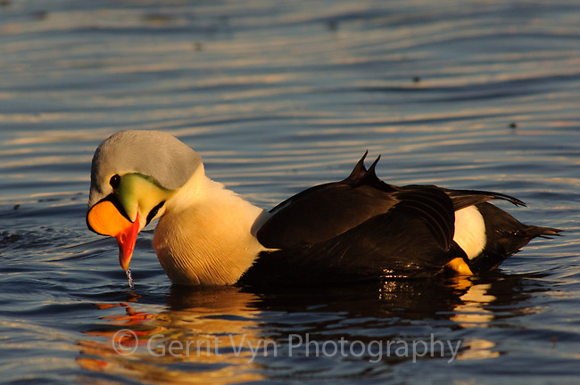 Adult male King Eider (Somateria spectabilis) displaying during courtship. Arctic Coastal Plain, Alaska. June.