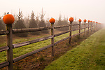 Pumpkin Patch on Working Farm for Halloween.