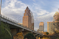 World's largest urban colony of Mexican free-tailed bats emerges to feed from the Congress Avenue Bridge in Austin, Texas, USA.jpg