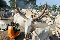 SOUTH SUDAN Bahr al Ghazal region , Lakes State, village Yeri cattle camp near Rumbek, Dinka woman milking Zebu cow / SUED-SUDAN  Bahr el Ghazal region , Lakes State, Dorf Yeri, Dinka mit Zebu Rindern im cattle camp bei Rumbek , Frau beim Melken