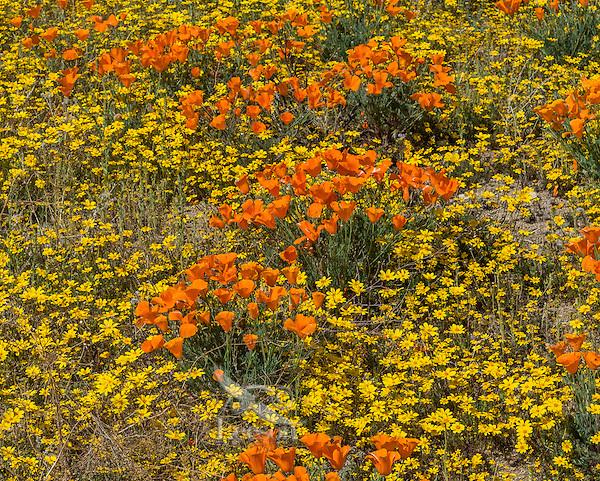 Wild California Poppies (Eschscholzia californica) and goldfields (yellow wildflowers).  California.  Spring.  Photo taken near the Antelope Valley California Poppy Reserve.