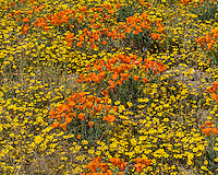 Wild California Poppies (Eschscholzia californica) and goldfields (yellow wildflowers).  California.  Spring.  Photo taken near the Antelope Valley California Poppy Reserve.