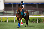 SHA TIN,HONG KONG-MAY 02: Convey,trained by Sir Michael Stoute,prepares for the Champions Mile at Sha Tin Racecourse on May 2,2017 in Sha Tin,New Territories,Hong Kong (Photo by Kaz Ishida/Eclipse Sportswire/Getty Images)