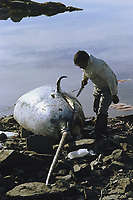 Inuit hunter prepares to butcher a male narwhal, Monodon monoceros, on the shore. Qeqertat. NW Greenland, Arctic