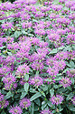 Monarda 'Vintage Wine', mid August. Commonly known as bergamot or bee balm.