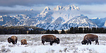 American Bison (Bison bison) grazing in the shadow of the Teton Mountains. Snake River valley near Jackson Hole. Grand Teton National Park, Wyoming, USA. January.