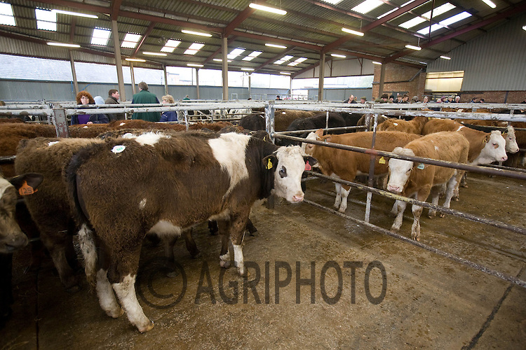 Melton Mowbray Livetsock Market,Melton Mowbray,.Leicetershire..Store Cattle in the auction market.Picture by Tim Scrivener date taken 10th March 2012.mobile 07850 303986 e-mail tim@agriphoto.com.....covering agriculture in The United Kingdom....