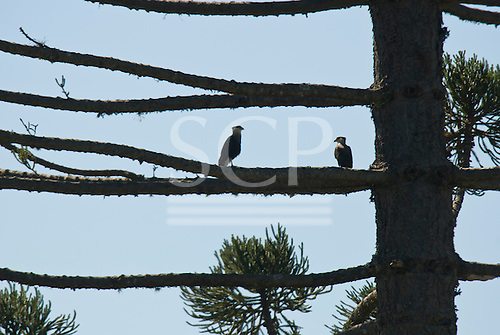 Fazenda Bauplatz, Para State, Brazil. Two birds of prey perched on the branch of an araucaria tree.