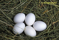 DG13-017c  Chicken Eggs in grass nest