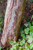 Beautiful Stewartia pseudocamellia tree trunk bark with Epimedium in early winter / late autumn fall