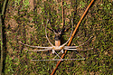 Sequence (3 of 5) of Tailless Whipscorpion {Amblypygi} Shedding its skin. Central Caribbean foothills, Costa Rica. May.
