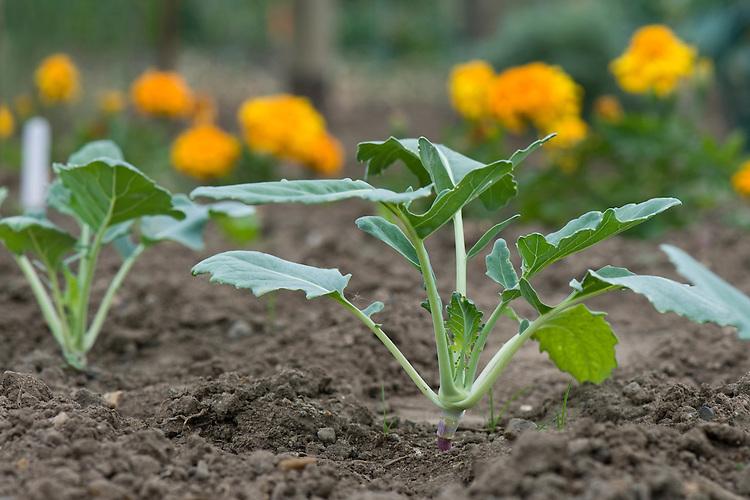 Kohl rabi seedlings, early June.