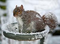 Grey sqirrel on a bird feeder in snow, Whitewell, Lancashire.