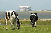 Cows grazing near Heysham, Lancashire.