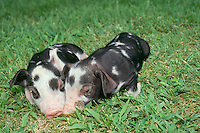 Two black and white spotted piglets cuddle during a nap in the grass