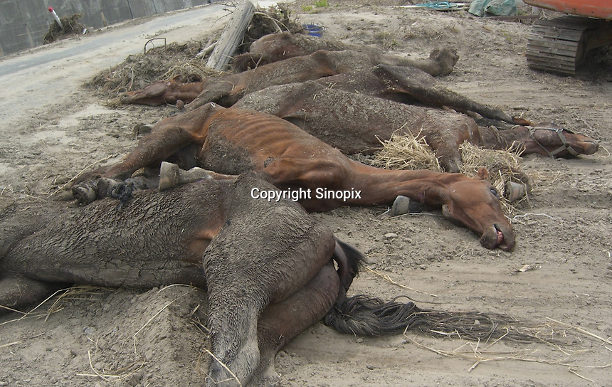 A stable of horses are staved near the coast close to the Fukushima Daiichi Nuclear Power Plant, Fukushima Prefecture, Japan.  Since the declaration of the 20 kilometer exclusion zone and 21st April law making it illegal to enter, thousands of animals face starvation...PHOTO BY SINOPIX