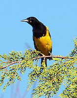 Adult male Scott's oriole