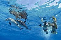 two snorkelers watch Atlantic spotted dolphins, Stenella frontalis, Bahamas, Caribbean Sea, Atlantic Ocean