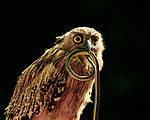 Bird looks like it has a long tongue after catching a snake by Ajar Setiadi