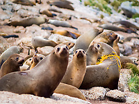 Australian fur seal (Arctocephalus pusillus doriferus) female with trawl netting entanglement. Kanowna Island, Bass Starait, Australia