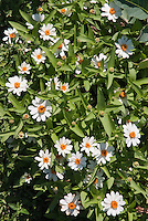 Zinnia 'Profusion White' annual flower in summer bloom