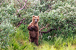 USA, Alaska, Katmai National Park, second year brown bear cub (Ursus arctos)