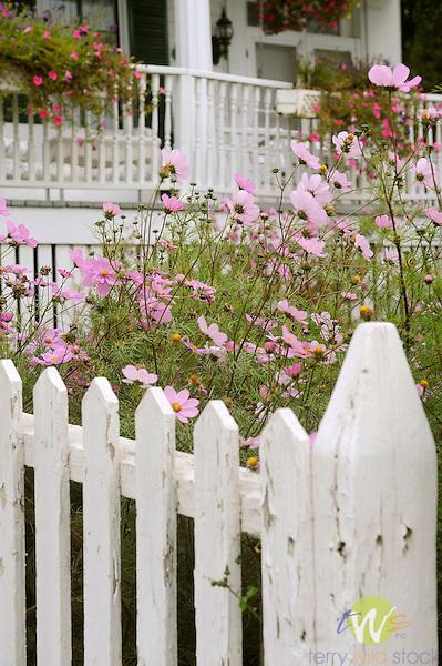Fall garden, cosmos, and fence, Main Huron St., Mackinac Island.