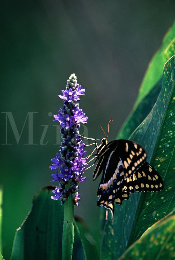 Swallowtail butterfly on Pickerelweed flower. Florida, Corkscrew Swamp Sanctuary.